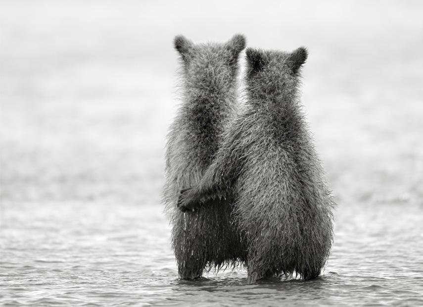 Knuffelende beren in Alaska © Nikolai Zinoviev