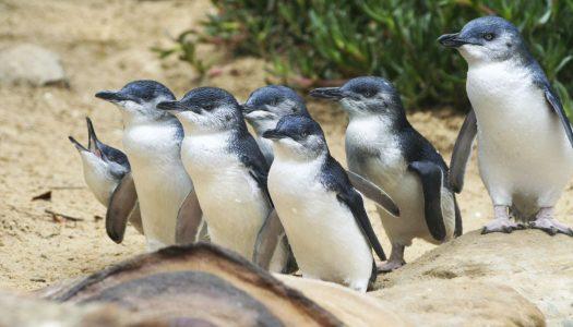 Wildlife fotograferen op Phillip Island in Australië
