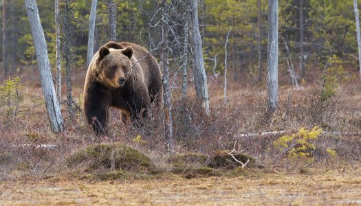 Het Great Bear Rainforest in Canada: Beren in het wild fotograferen